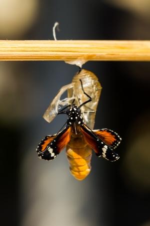 新しい生まれの平野虎蝶が蛹から出てくる 写真素材