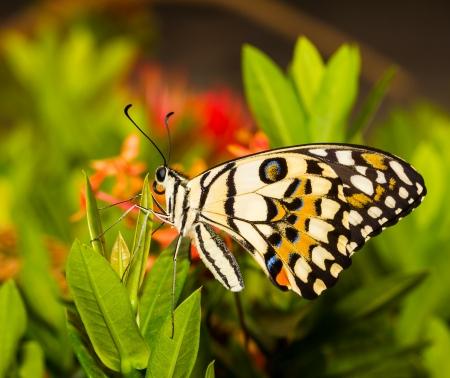 Известь бабочка сушки крыло на красный цветок