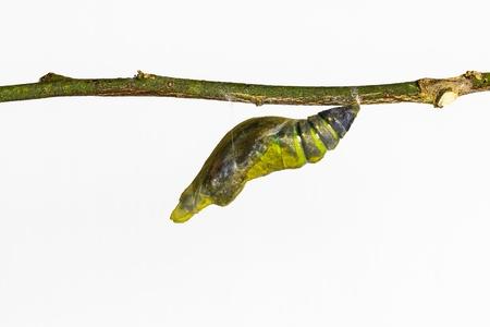 成熟した蛹の白い背景で一般的なモルモン教蝶 写真素材