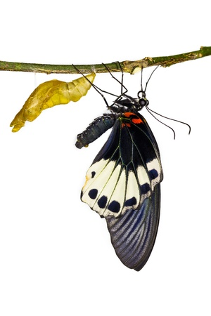 New born female great mormon butterfly hanging near pupa in white backgound photo