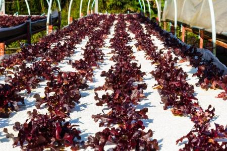 Red Oak-Leaf, hydroponic vegetable for salad bowl photo