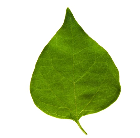 pipal: Green pipal (bo) leaf in white background Stock Photo
