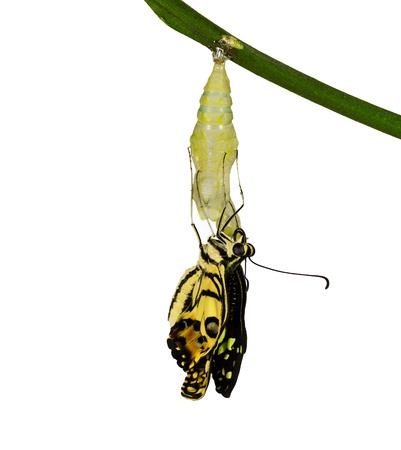 New born lime butterfly hanging on pupal