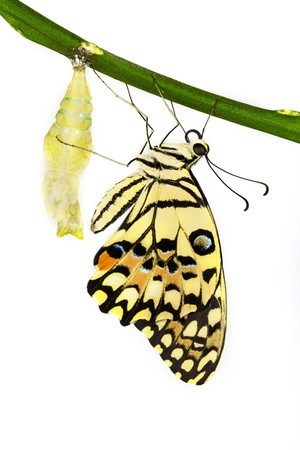 New born lime butterfly hanging near pupal