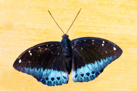 archduke: The Common Archduke butterfly lying on floor