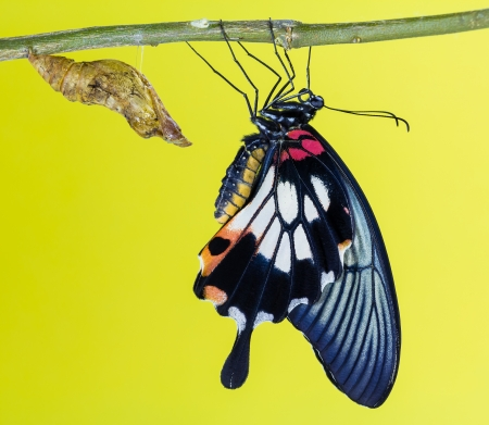 Female great mormon with tailed and yellow boay and pupa