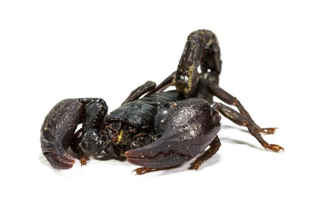 Close up of black scorpion in white background photo