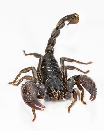 Primer plano de escorpión negro en fondo blanco Foto de archivo - 18511091