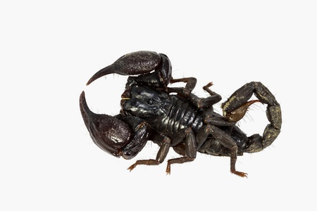 venom: Close up of top of black scorpion in white background Stock Photo