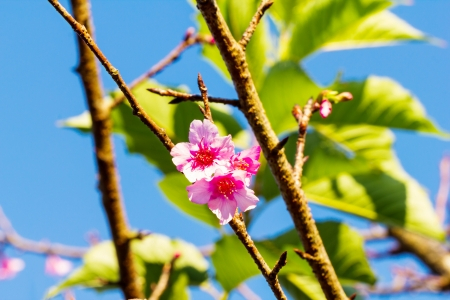 Close up of peach blossom on tree photo