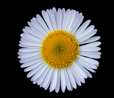 white daisy: Close up of small white daisy in black background Stock Photo