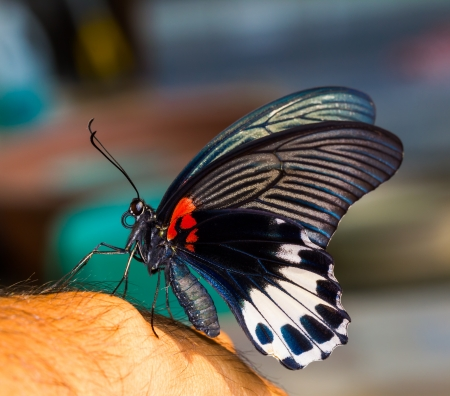 Swallowtail or great mormon butterfly lying on hand photo