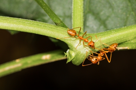 Two red ants cliaming at ivy gourd Stock Photo - 19267279