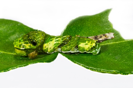 mormon: Successful molting of caterpillar of great mormon butterfy Stock Photo