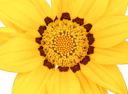 Крупным планом yyellow цветок на белом фоне