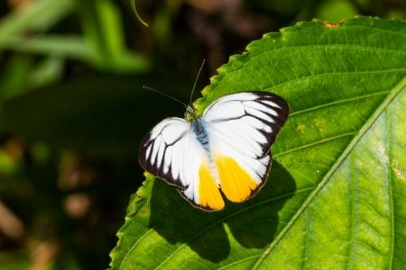 Orange Gull butterfly open wings on leaf