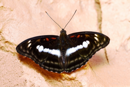 sergeant: Staff sergeant butterfly open wings on ground Stock Photo
