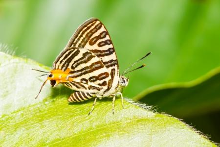 silverline: Club silverline butterfly resting on green leaf
