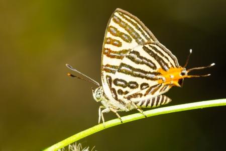 silverline: Club silverline butterfly resting on green plant