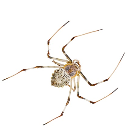 araneidae: White spider in white backgound with clipping part