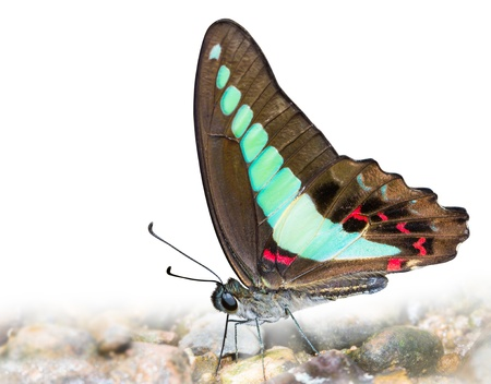 Common bluebottle Butterfly with clipping path