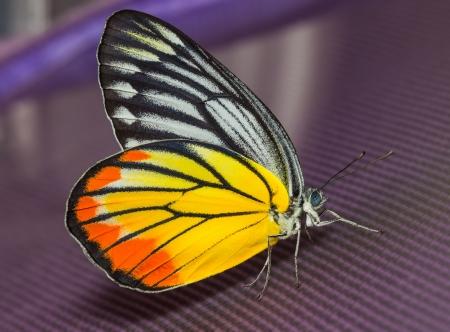 Крупным планом красочных окрашенные бабочки Иезавели Фото со стока