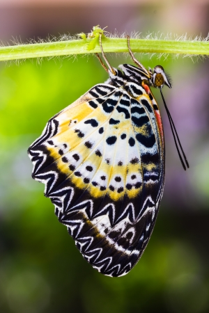 lacewing: Close up of new born leopard lacewing  Cethosia cyane euanthes   butterfly