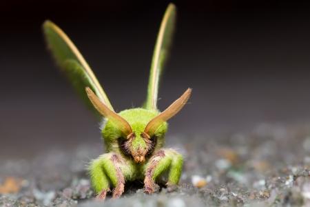 Close up face of green Trabala pallida moth before fly