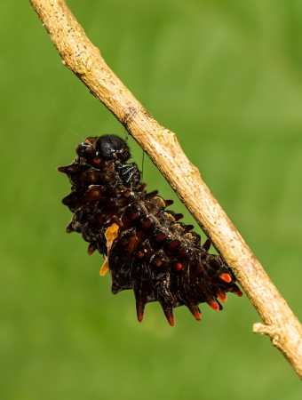Mature caterpillar of Common Windmill butterfly hanging on tree