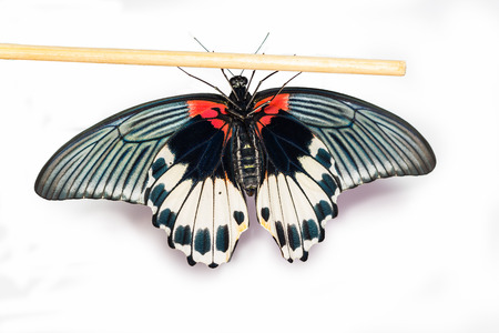 Bottom view of female Great mormon Butterfly