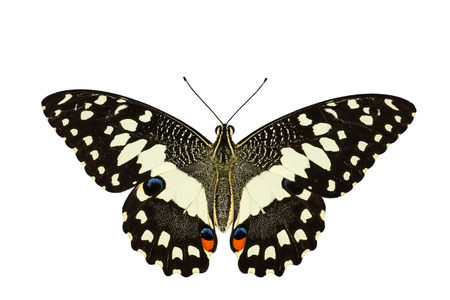 Top view of Lime butterly on white with clipping path photo