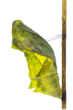 Cocoon of common birdwing butterfly Stock Photo