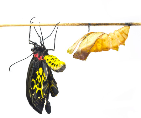 emerge: New born Common Birdwing butterfly emerge from cocoon in white background