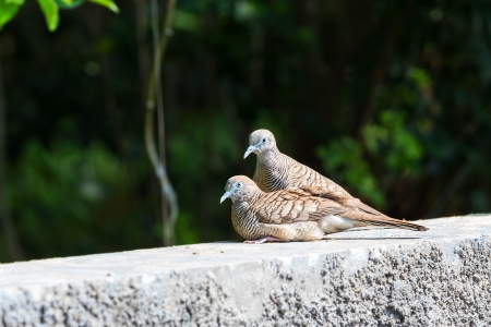Zebra doves resting on concrete wall photo