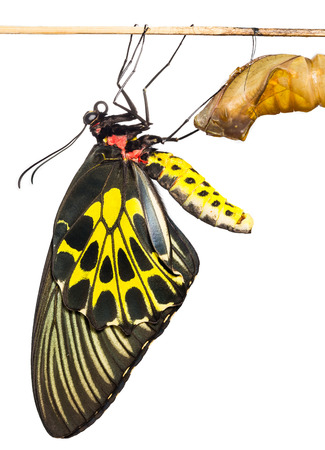 New born Common Birdwing butterfly emerge from cocoon in white photo