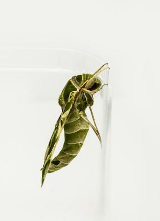 deilephila: Green oleander Hawk moth on white