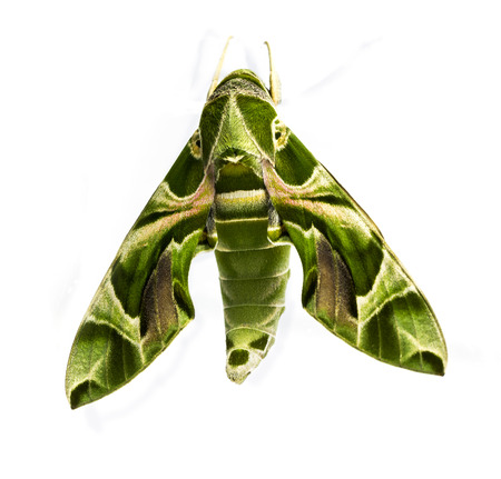 deilephila: Green oleander Hawk moth on white