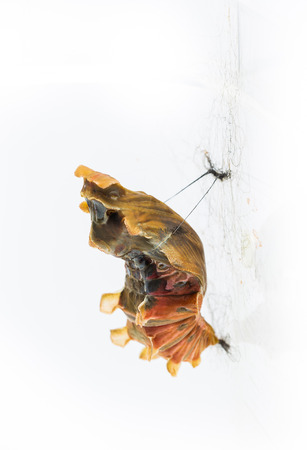 swallowtails: Mature cocoon of common rose butterfly in white background