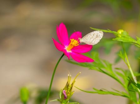 psique: Alimentaci�n de la mariposa Psyche Leptosia nina en flor cosmos Foto de archivo