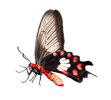 swallowtails: Common Rose Butterfly on white  Stock Photo