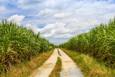 Sugarcane field with road and blue sky photo