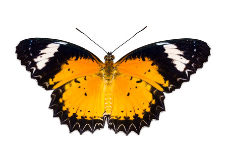Male of Leopard lacewing butterfly on white