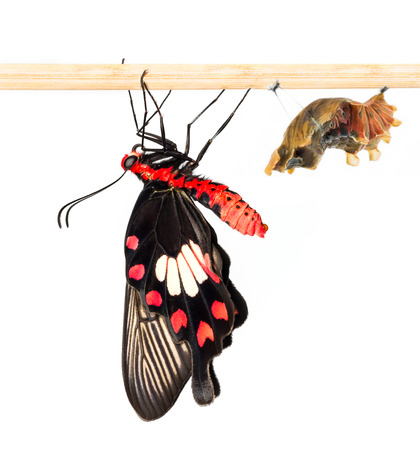 swallowtails: Common rose butterfly with cocoon on white
