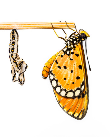 Tawny Coster butterfly and cocoon on white  Stock Photo