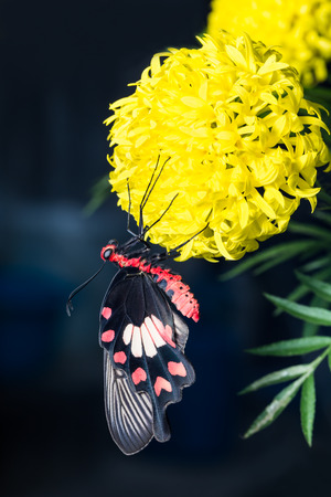 swallowtails: Common Rose  or Red-bodied Swallowtails butterfly hanging on marigold flower