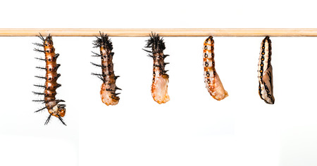 Mature caterpillar transform to cocoon of Tawny Coster butterfly Stock Photo