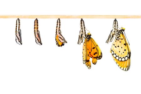 oruga: Capullo maduro transformar a mariposa Tawny Coster Foto de archivo