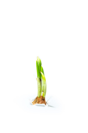 emerge: Green onion sprout emerge from white paper