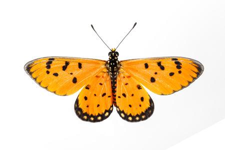 Тони Костера бабочка на белом фоне