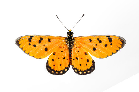 antennae: Tawny Coster butterfly on white background